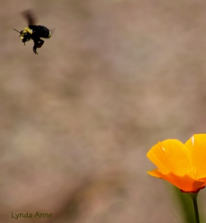 Buzzy with California Poppies