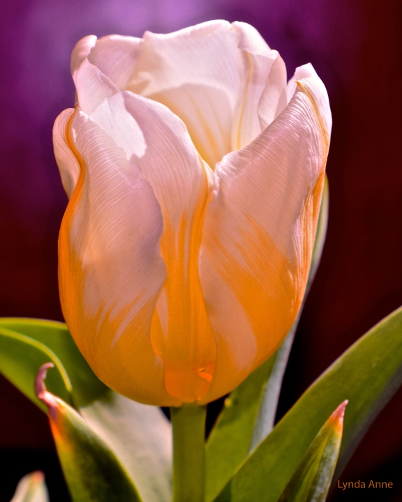 White and Yellow Tulip
