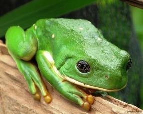 Green Tree Frog near Morelia, Mexico