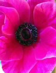 Fuchsia Poppy