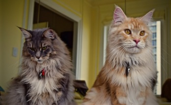 Photoshoot of Sammy & Lilly, Two Beautiful Maine Coon Cats.