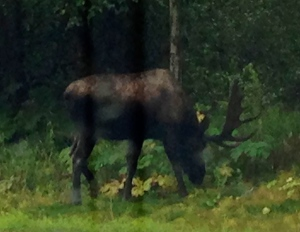 A Very Big Moose!  Kincaid Park in September.  Be careful; the moose are dangerous!